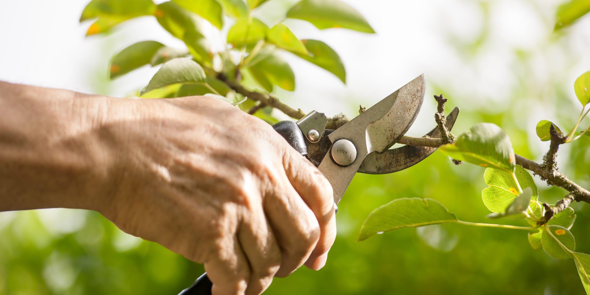 potatura-degli-alberi-da-frutto