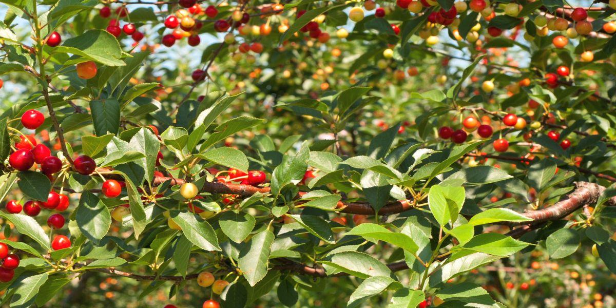 Elegant come potare gli alberi da frutto with come - Alberi da giardino piccolo ...