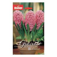 Bulbo Giacinto rosa 18 pezzi