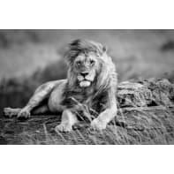 Stampa su tela Lion 97x65 cm
