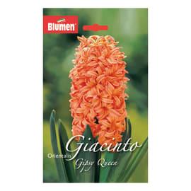 Giacinto Gipsy queen