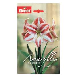 Amaryllis hippeastrum Striato