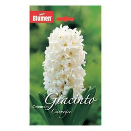 Giacinto orientalis Bianco