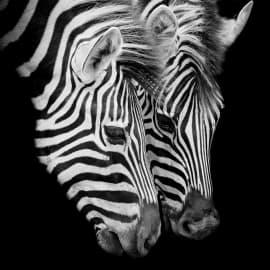Quadro in vetro Zebra 45x45