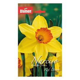 Narciso grande corona Red devon