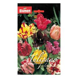 Bulbo Tulipano Pappagallo colori assortiti 36 pezzi