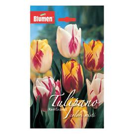 Bulbo Tulipano Rembrandt colori assortiti 36 pezzi