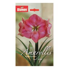 Bulbo Amaryllis Hippeastrum rosa 6 pezzi