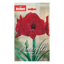 Bulbo Amaryllis Hippeastrum rosso 6 pezzi