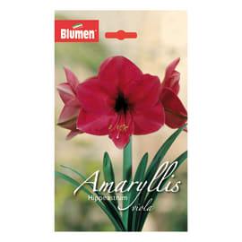 Bulbo Amaryllis Hippeastrum viola 6 pezzi
