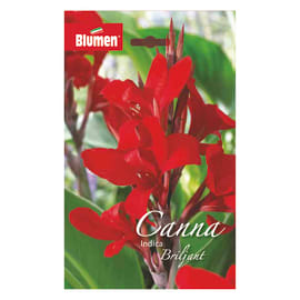 Bulbo fiore brilliant rosso 6 pezzi