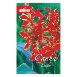 Bulbo fiore lucifer rosso 6 pezzi
