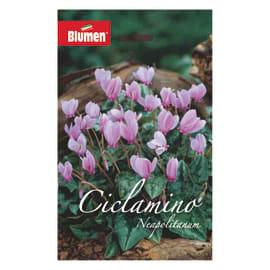 Bulbo fiore neapolitanum viola 6 pezzi