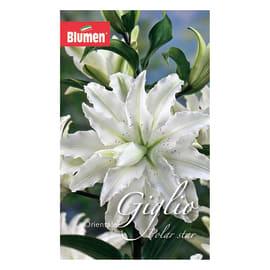 Bulbo fiore polar star bianco 12 pezzi