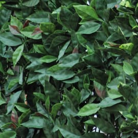 Siepe artificiale photinia L 0.5 x H 1 m