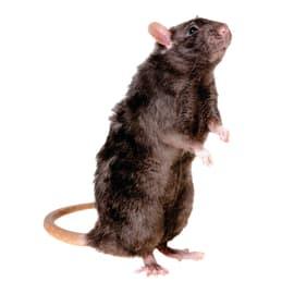 Trappola per ratto e topo e moles TTP04 blister da 1 unità 14 x 7 cm