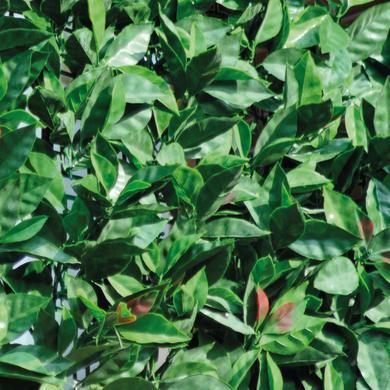 Parete verde artificiale photinia