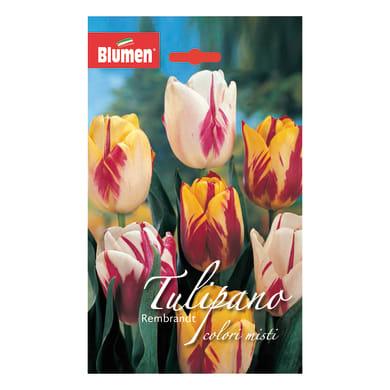 Bulbo Tulipano Rembrandt colori assortiti confezione da 36