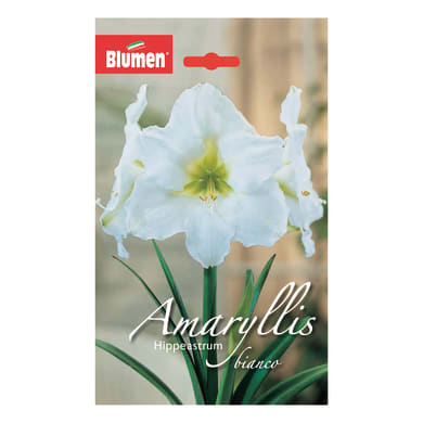 Bulbo Amaryllis Hippeastrum bianco confezione da 6