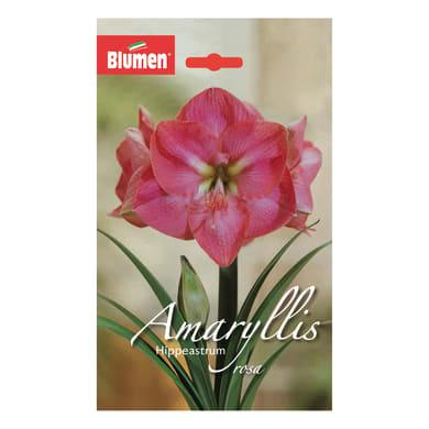 Bulbo Amaryllis Hippeastrum rosa confezione da 6