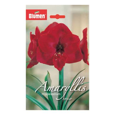 Bulbo Amaryllis Hippeastrum rosso confezione da 6
