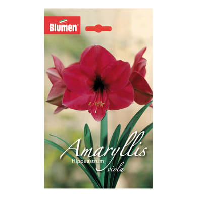 Bulbo Amaryllis Hippeastrum viola confezione da 6