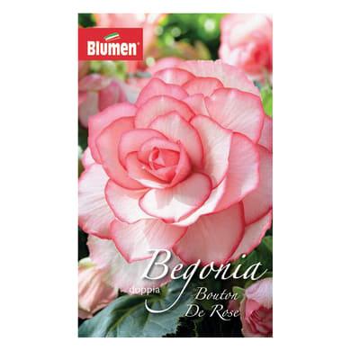 Bulbo fiore bouton de rose rosa 18 pezzi