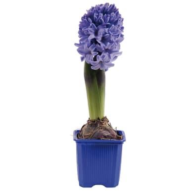Bulbo con vaso Hyacinthus 7