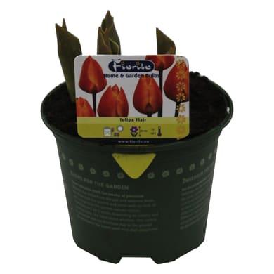 Bulbo con vaso Tulipano 12