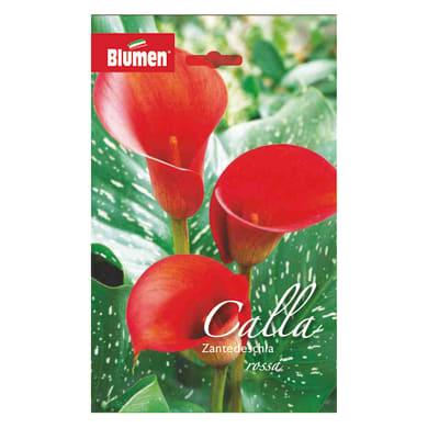 Bulbo fiore Calla Zantedeschia rosa confezione da 6