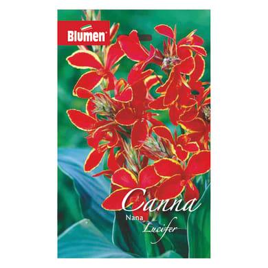 Bulbo fiore BLUMEN lucifer rosso confezione da 6