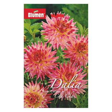 Bulbo fiore Dalia Cactus  bianco/rosa confezione da 6