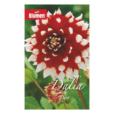 Bulbo fiore BLUMEN duet rosso/bianco confezione da 6