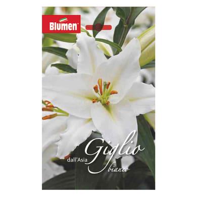 Bulbo fiore Giglio bianco confezione da 12