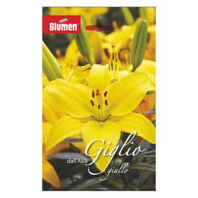 Bulbo fiore Giglio giallo confezione da 12