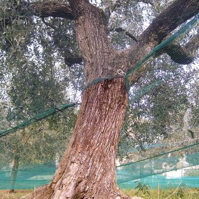 Rete per olive 36 g L 250 x H 4 m
