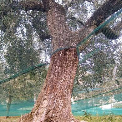 Rete per olive 36 g L 250 x H 2 m
