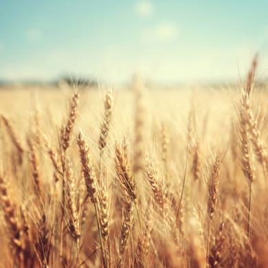 Quadro in vetro Ears Of Wheat 30x30 cm