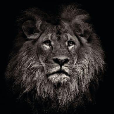 Quadro in vetro Lion 38x38 cm