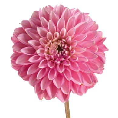 Fiore artificiale Dalia H 73 cm