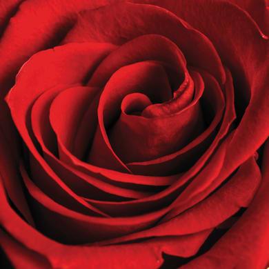 Quadro su tela Rosa Rossa 40x40 cm