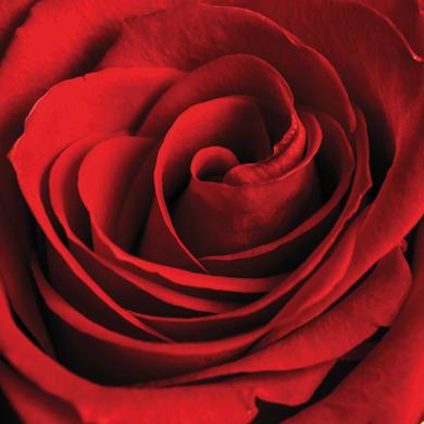 Quadro su tela Rosa rossa 80x80 cm