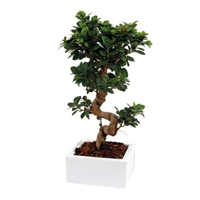 Bonsai in vaso da 40 cm