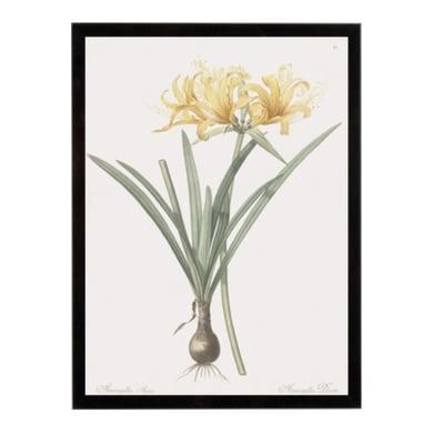 Stampa incorniciata Amaryllis Doree 24.7x30.7 cm