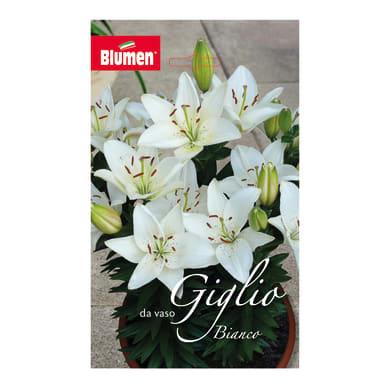 Bulbo fiore Giglio Bianco da vaso confezione da 6