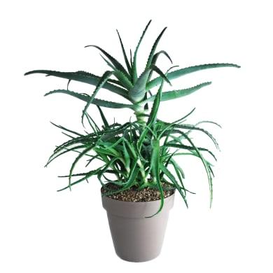 Aloe arborescens 25 cm Multicolore