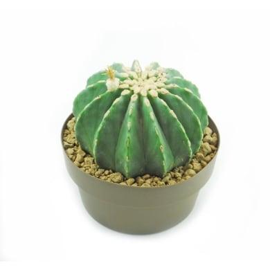 Ferocactus glauscencens inermis 25 cm Multicolore