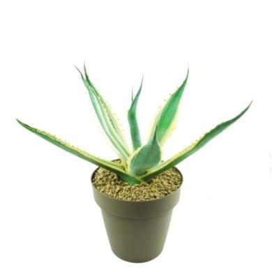 Agave americana variegata 25 cm Multicolore