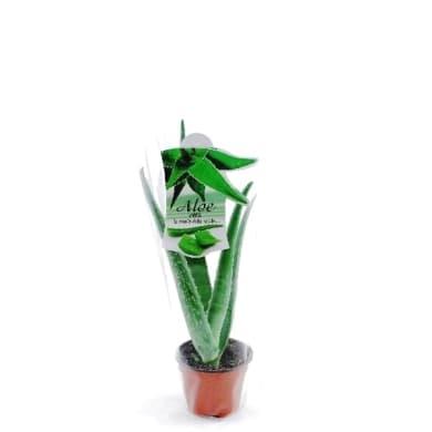 Aloe vera 10.5 cm Multicolore