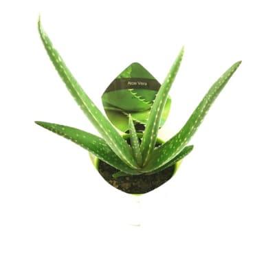 Aloe vera 6.5 cm Multicolore